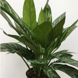 "Aglaonema 6"" (Assorted Green Varieties)"